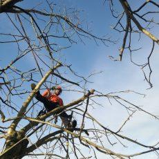 Baumpflegemaßnahme Kroneneinkürzung